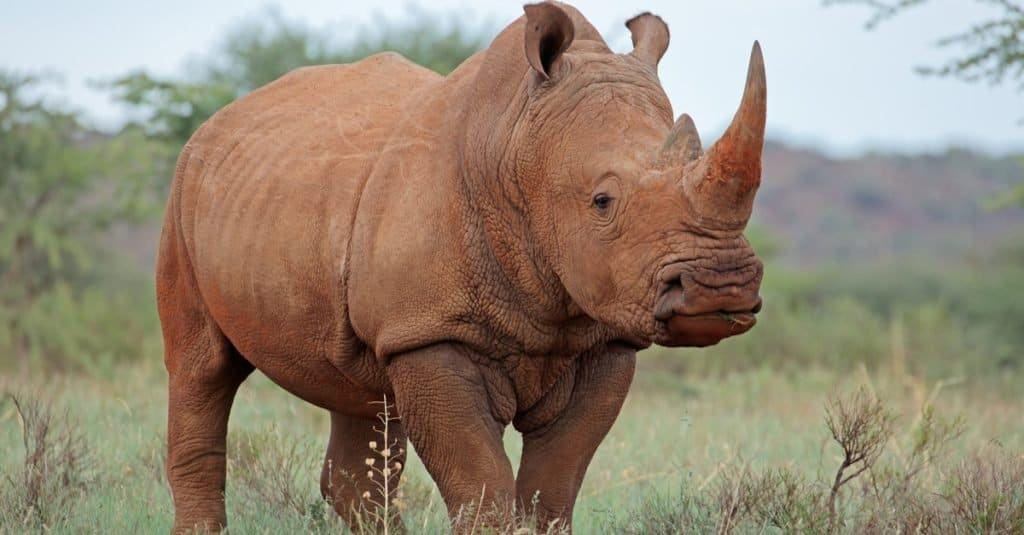 Safari Animals You MUST See: Rhinos