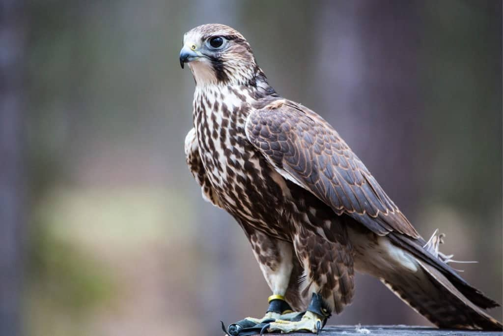 Fastest Birds in the World: Saker Falcon