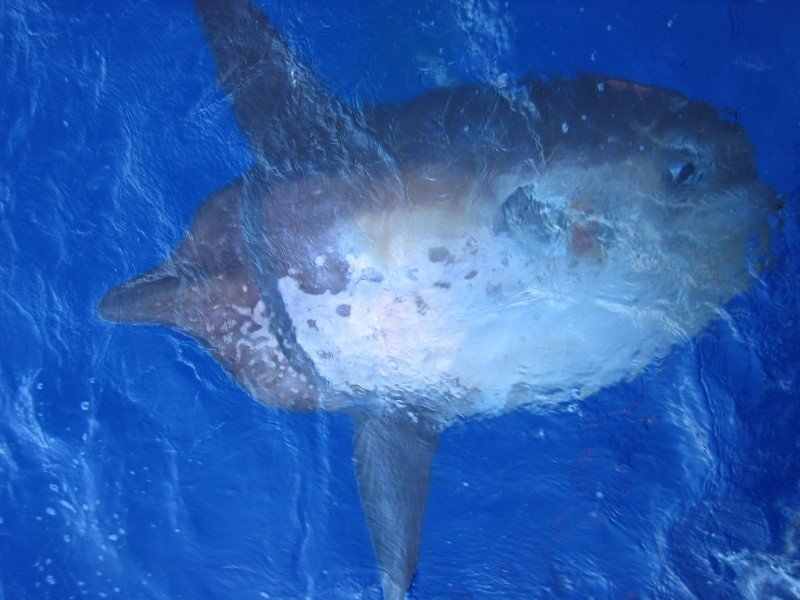 Biggest Fish in the World: Sharptail Mola