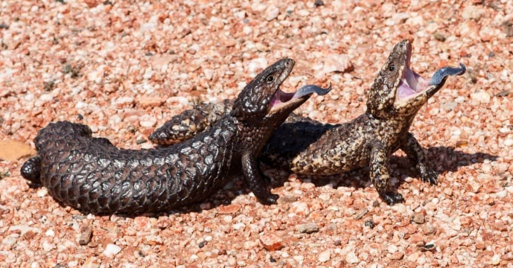 Animals That Mate for Life: Shingleback Lizard