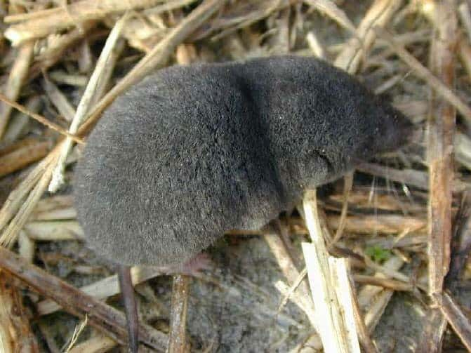 Most Venomous Mammals – Short-Tailed Shrews