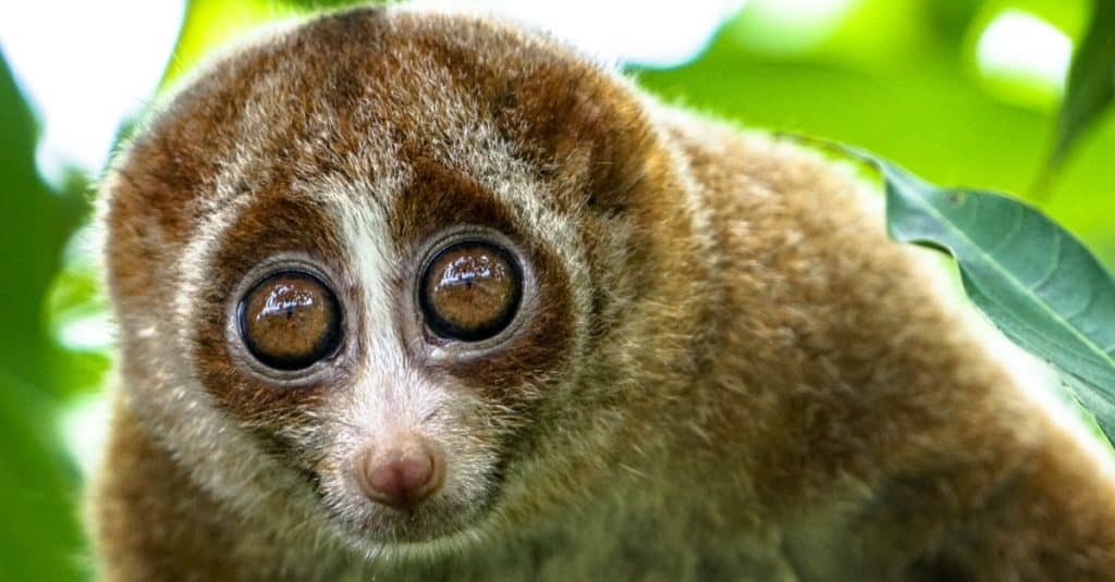 Most Venomous Mammals – Slow Loris