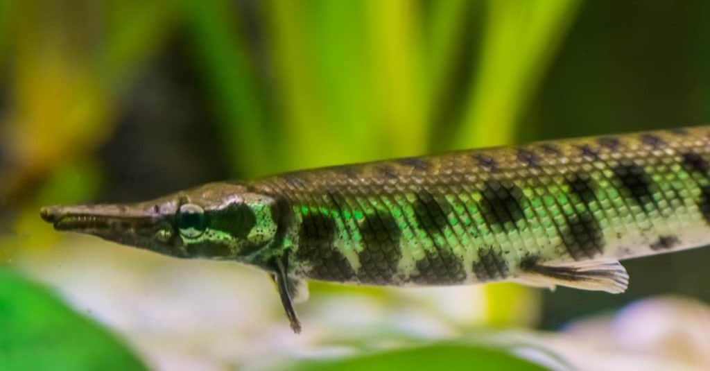 spotted gar, a dart shaped fish with a needle nose, tropical fish from the mississippi river basin of America