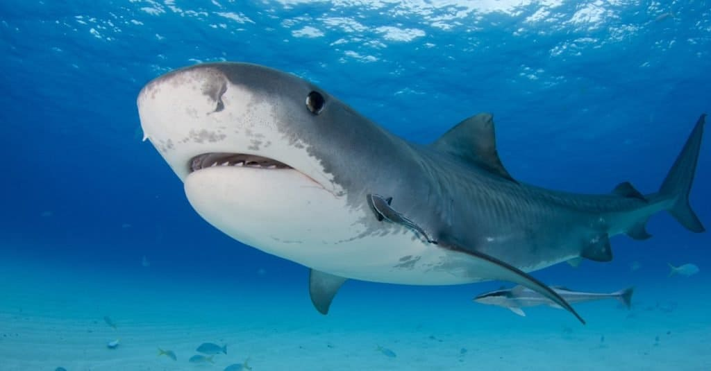 Biggest Fish in the World: Tiger Shark