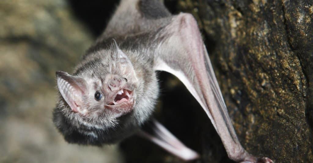 Un murciélago vampiro con la boca abierta en la ladera de una roca.