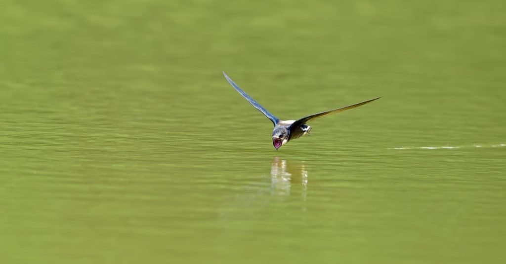 Fastest Birds in the World: White-throated Needletail