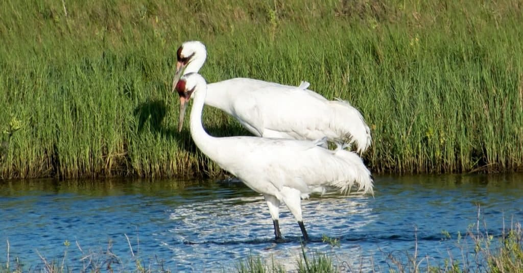 Animal That Mates for Life: Whooping Crane