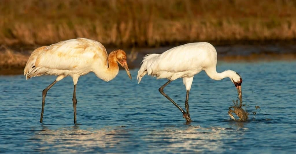 Adult (right) and juvenile (left) Whooping Crane (Grus americana) during winter in marshland in Aransas County, Texas, USA