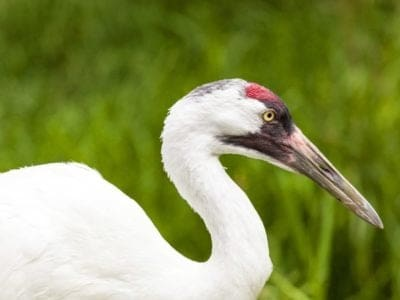 A Whooping Crane