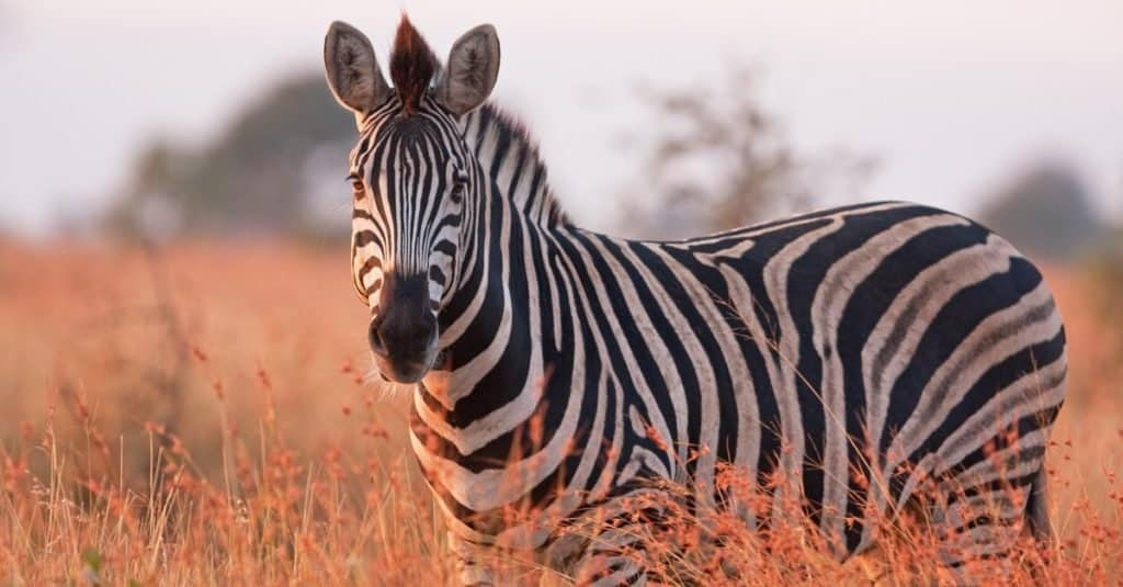 Safari Animals You MUST See: Zebra