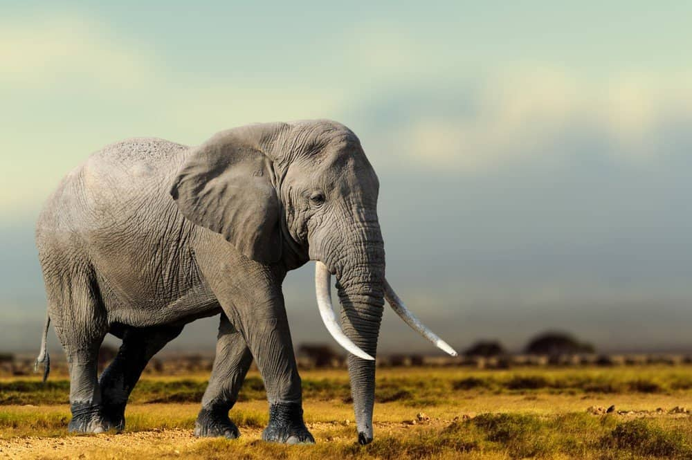 Safari Animals You MUST See: African Elephant