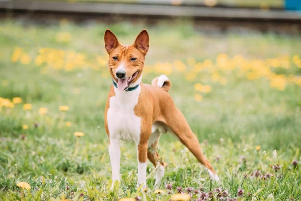 A Basenji standing in the grass with yellow flowers in the background.