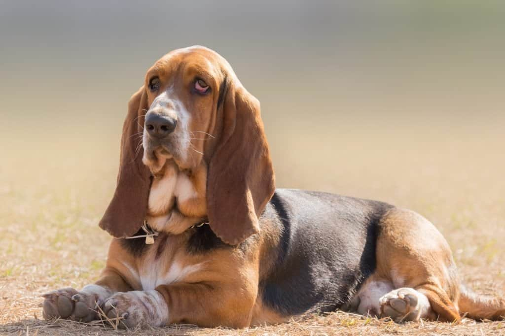 A Basset Hound laying in the grass.
