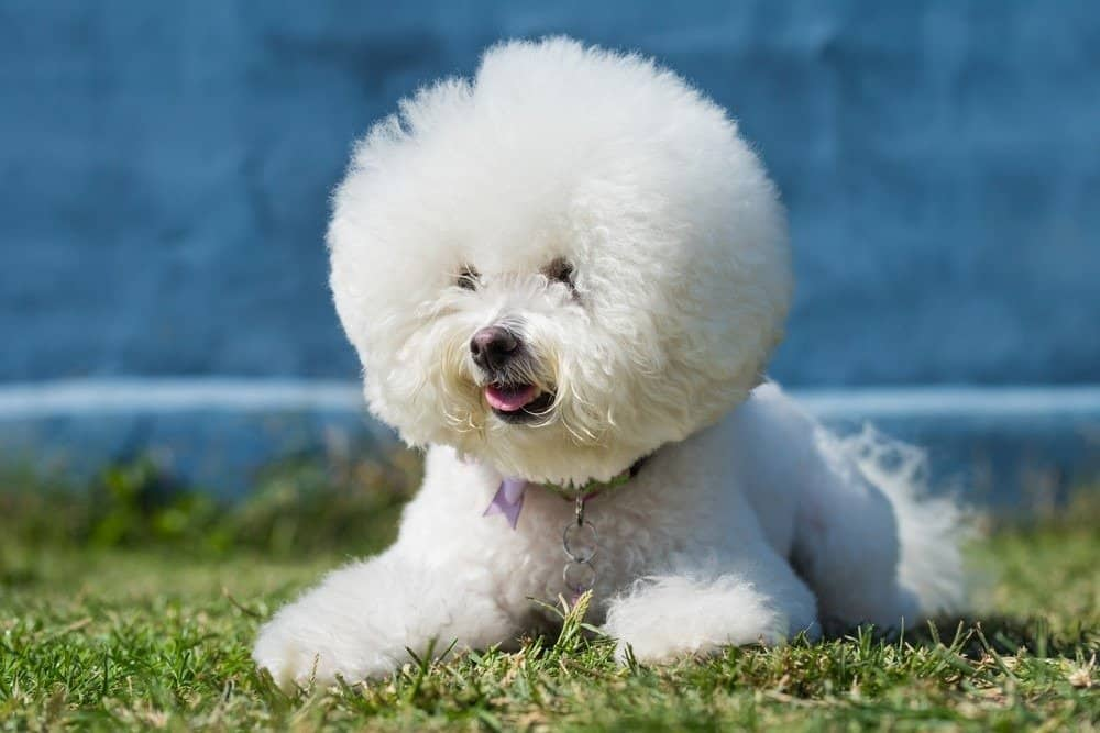 A Bichon Frise laying in the grass.