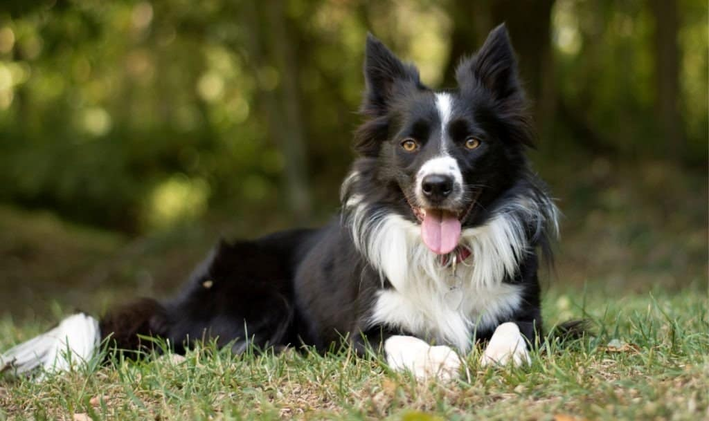 A border collie lying in the grass with its tongue out.