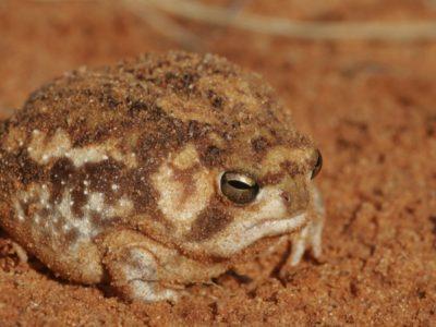 A Desert Rain Frog