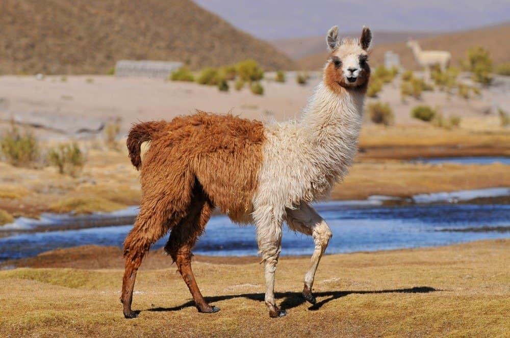 top 10 non-traditional pets - llama