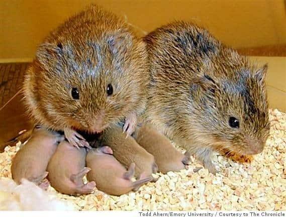 Animal That Mates for Life: Prairie Vole
