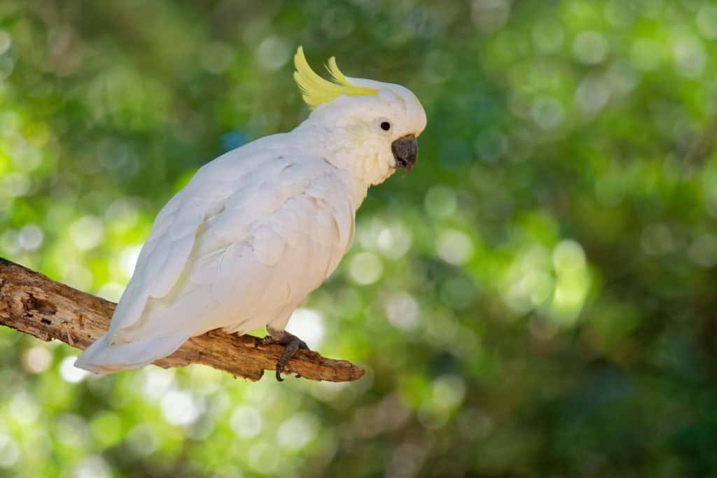 White cockatoo with yellow feathers sitting on a branch