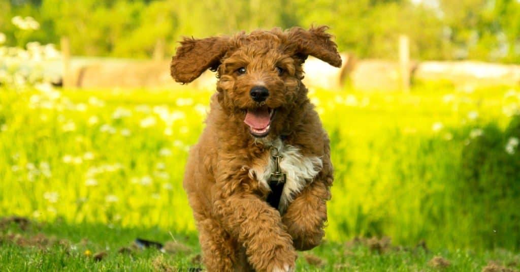 Irish Doodle puppy running through the park