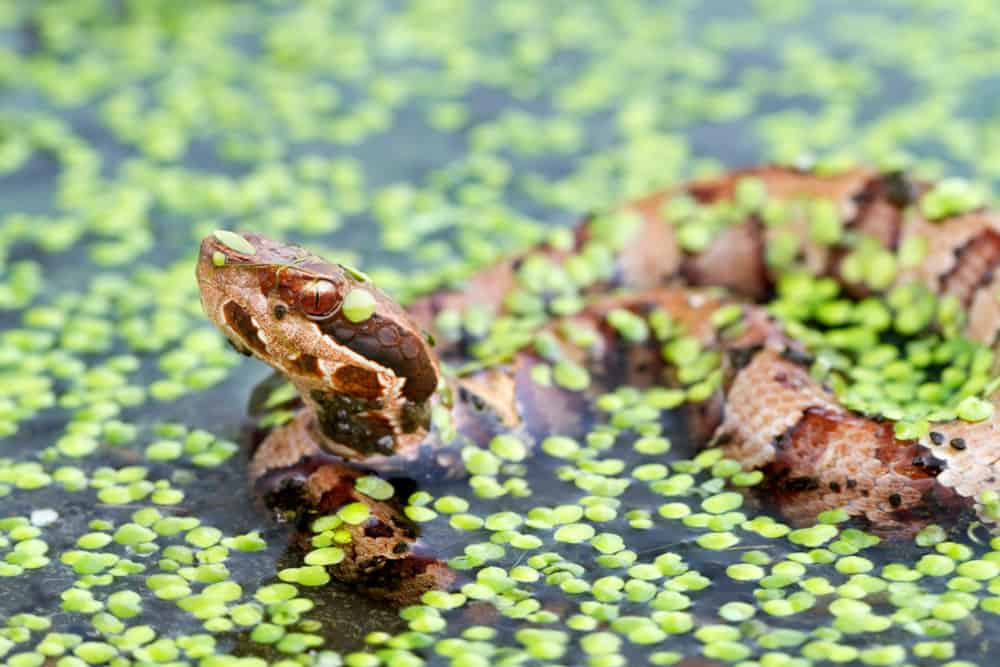 A cottonmouth partially submerged in water, covered in green aquatic vegetation.