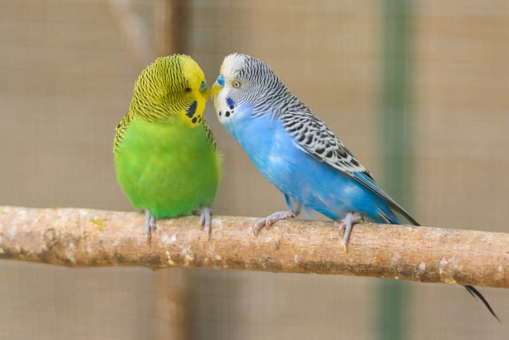 Two parakeets sitting on a branch