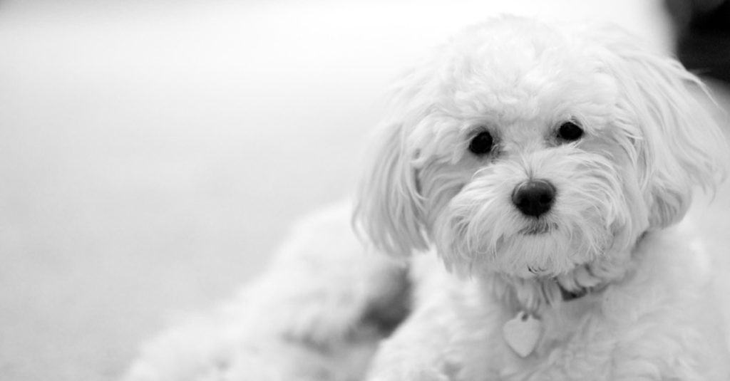 Maltipoo laying down