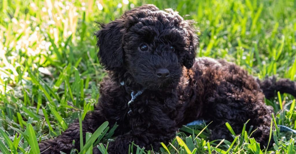 Schnoodle laying in the grass