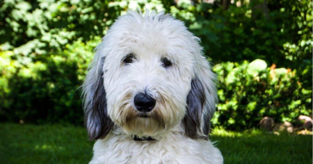 A Sheepadoodle dog headshot