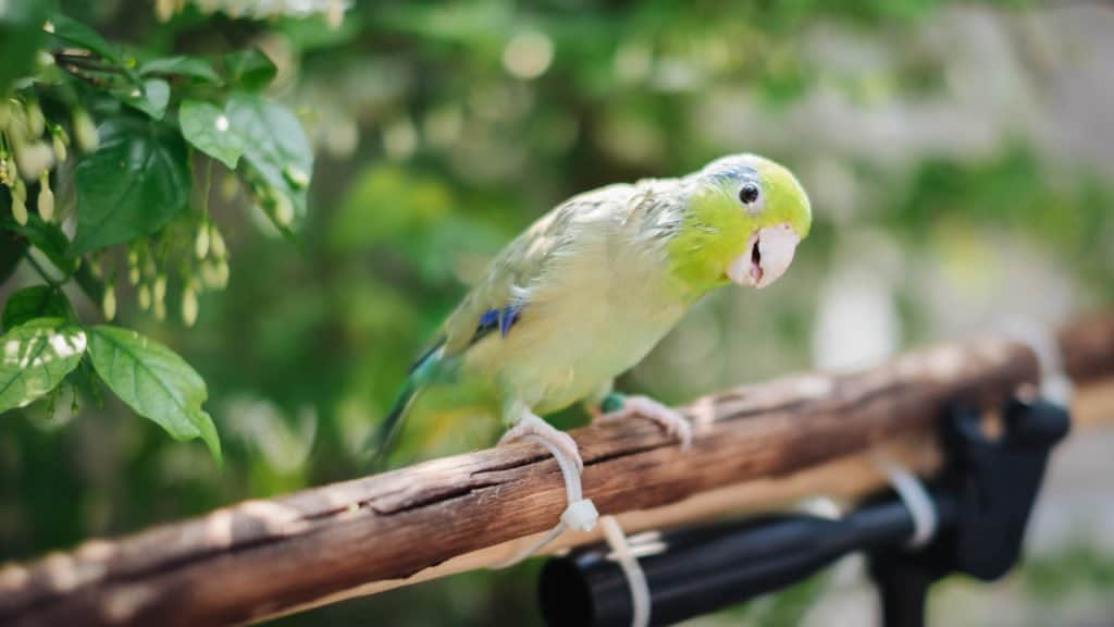 Parrotlet sitting on a branch