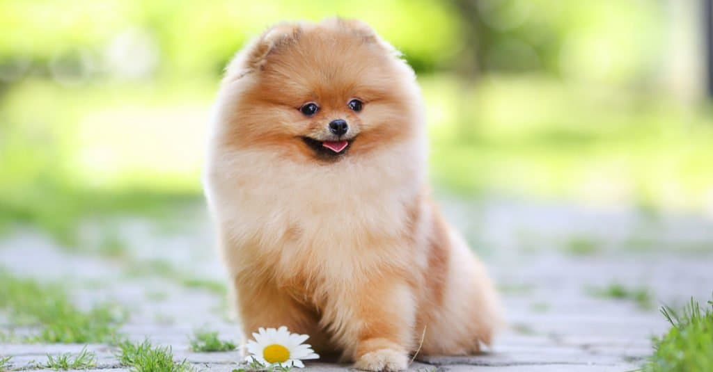 Pomeranian puppy dog sitting in the park