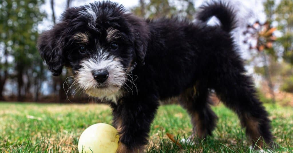 Bernedoodle puppy playing with a ball in the grass