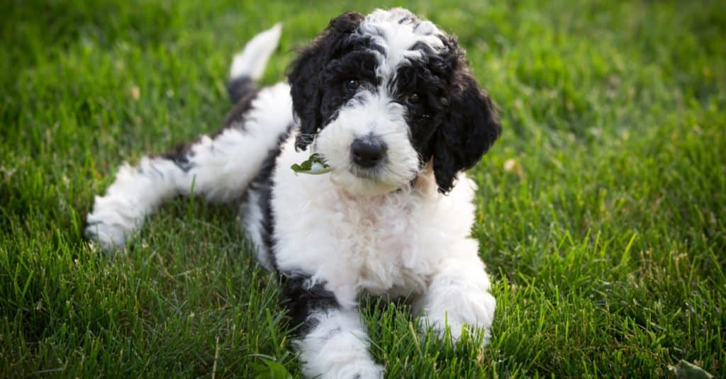 A Sheepadoodle 6 week old puppy