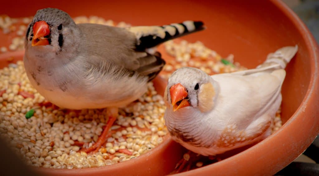 Two finches in a bowl with food