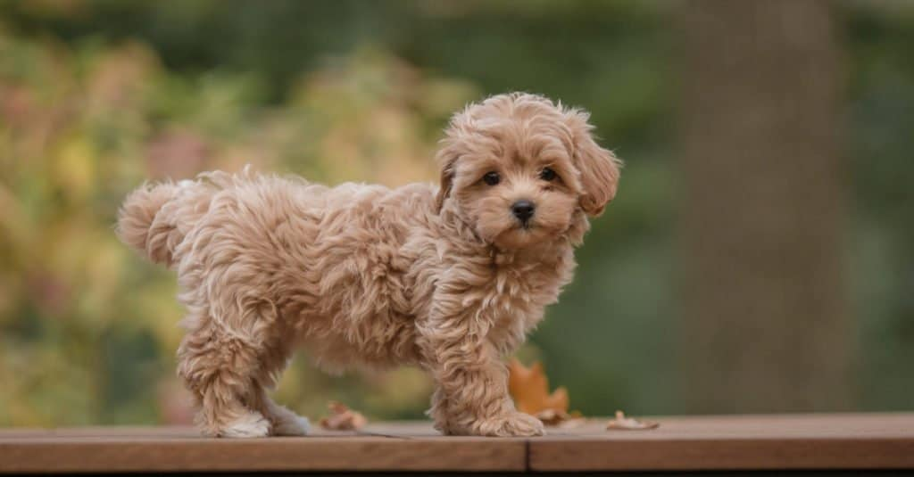 Maltipoo puppy standing on deck