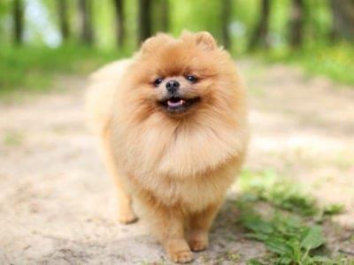 A Pomeranian