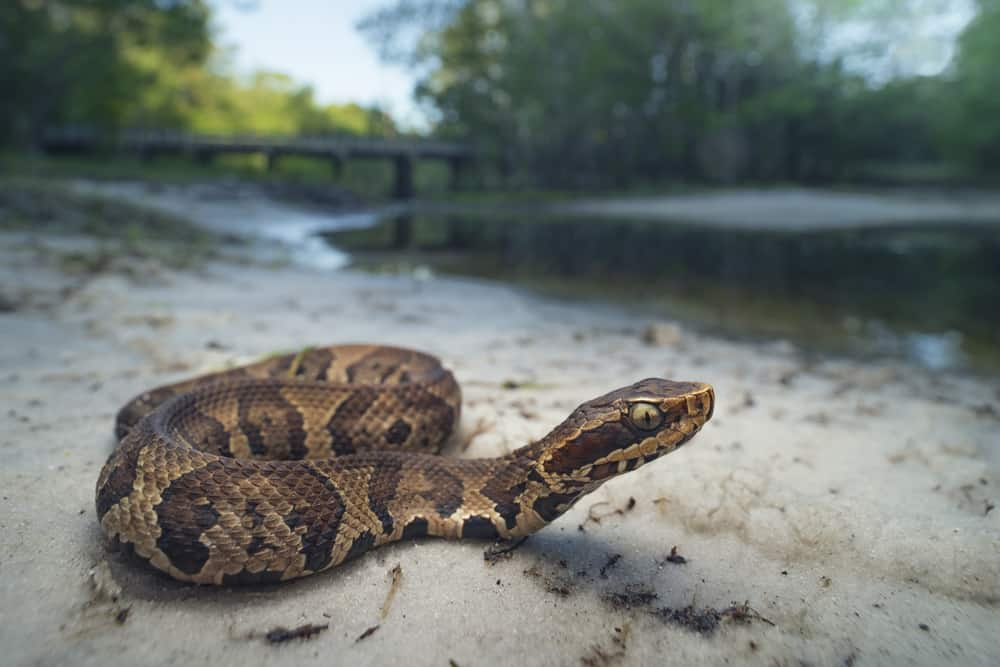A cottonmouth snake in the sand near a body of water.