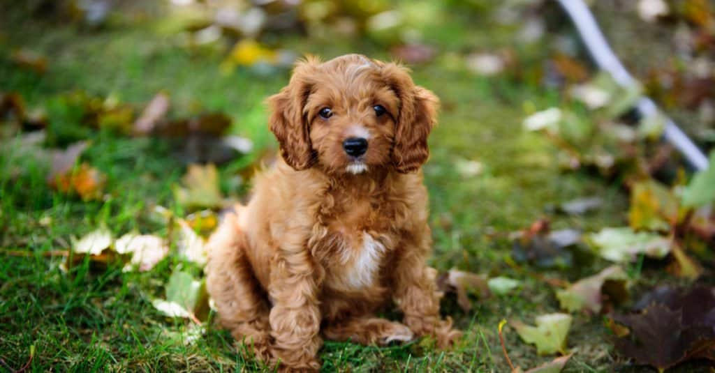Cavapoo puppy sitting in the grass