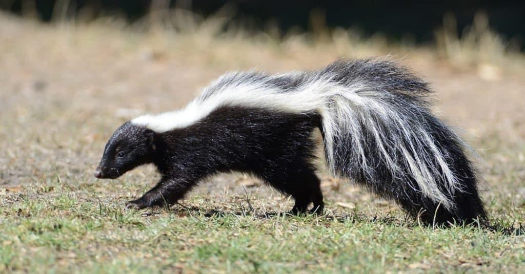top 10 non-traditional pets - skunk