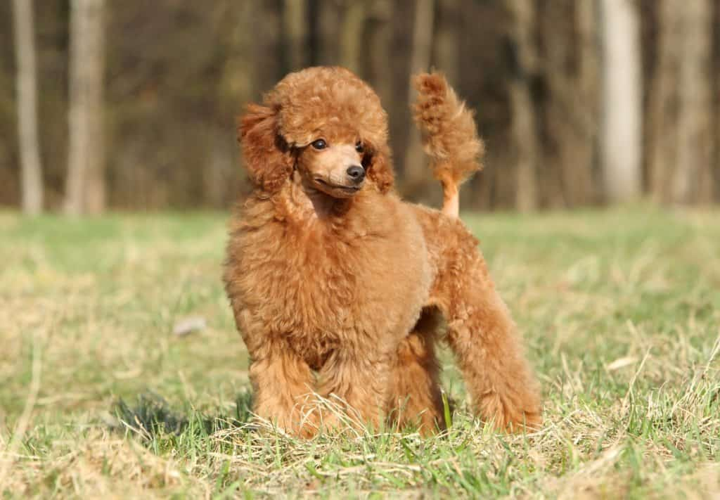 A brown Toy Poodle standing in the grass with trees in the background.