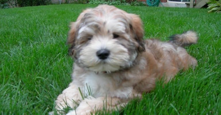 LhasaPoo puppy laying in the grass