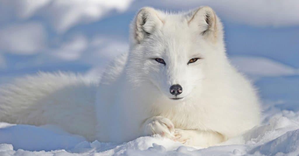Animales con camuflaje: zorro ártico