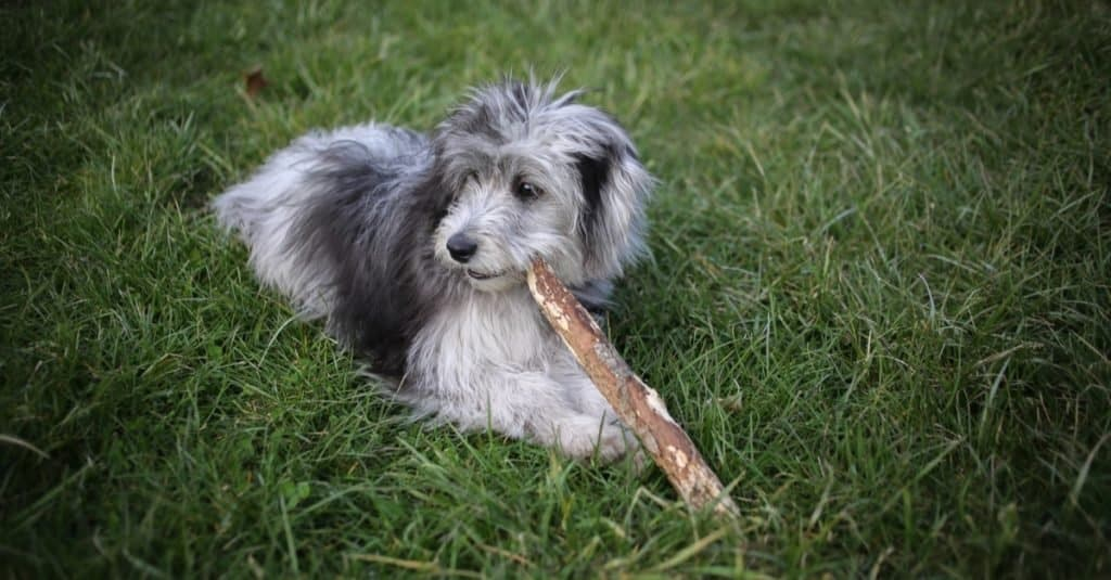 6 Month Old Blue Merle Mini Aussiedoodle Puppy