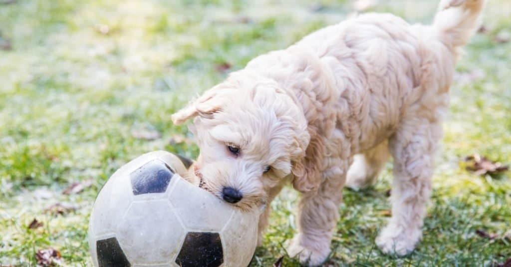Cream Australian Labradoodle pup playing in the garden with a football in the mouth on the green grass