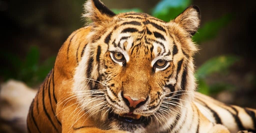 Illegal Pets to Own In the United States: Bengals