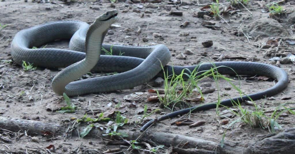 La mayoría de las serpientes venenosas del mundo - Black Mamba