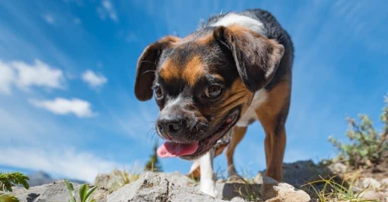 Beagle Boston Terrier mix dog, Boglen terrier, while Hiking Nihahi Ridge Kananaskis Country Alberta Canada