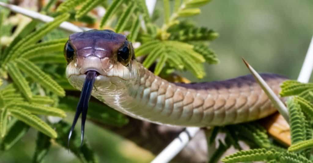 La mayoría de las serpientes venenosas del mundo - Boomslang
