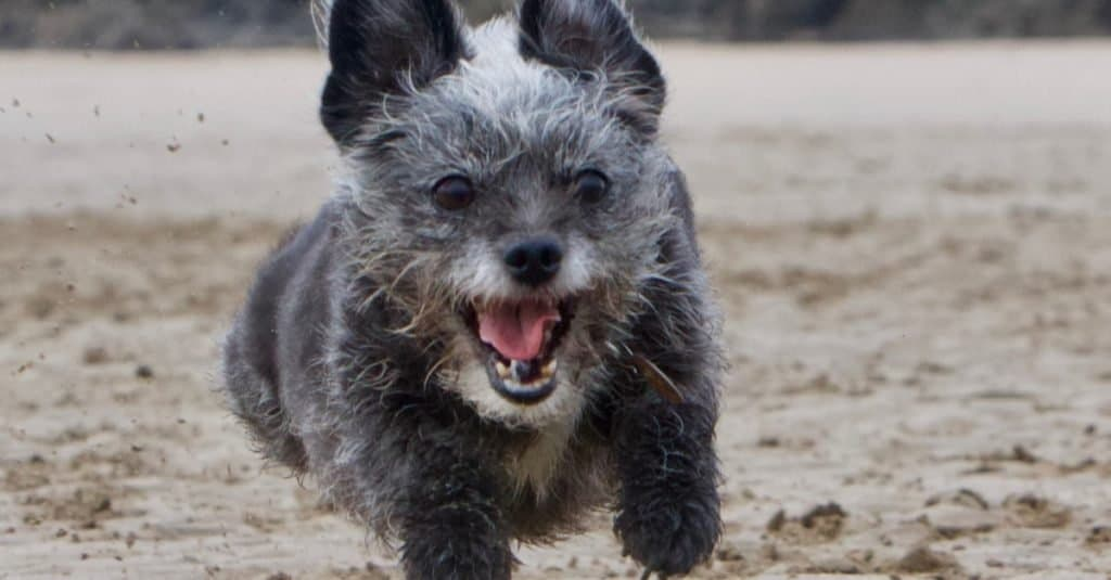 Tiny chihuahua x poodle running flat out on the beach