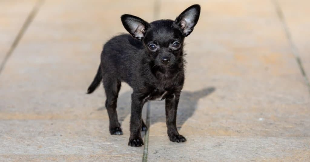 Adorable tiny ChiPoo dog outdoors , Chihuahua Poodle Mix